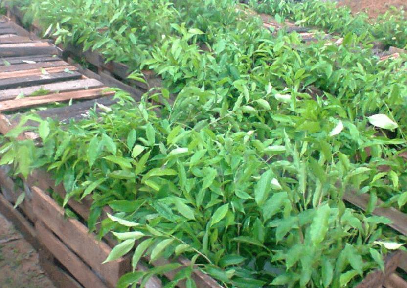 Jual Bibit Kayu Gaharu Aquilaria Malaccensis
